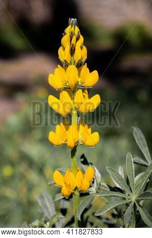 Close-up Of A Single Yellow Lupine Flower Isolated On A Blurred Background In Earth Tones. Vertical