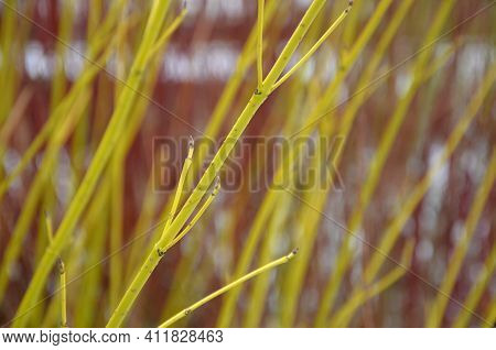 Dogwood Is A Very Popular Deciduous Shrub, Which Grows To A Height Of 3 M. This Shrub Is Prized For
