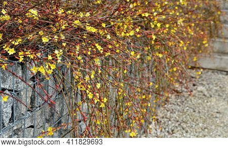 The Broom-growing Shrub Cannot Do Without Support. If It Is Not Tied To A Support, It Grows Recumben
