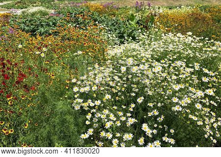 Chamomile Flowers With Long White Petals. Flowering Of Daisies In Summer Wild Meadow. Medicinal Herb