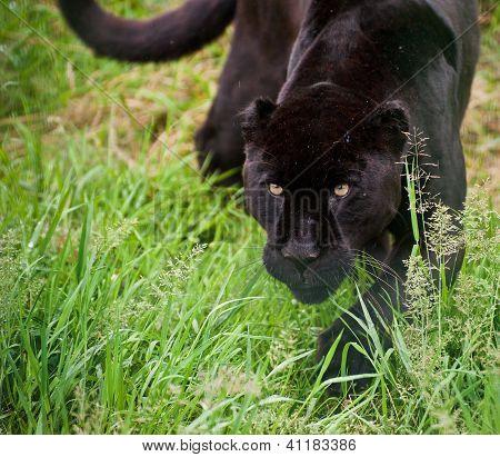 Black Jaguar Panthera Onca Prowling Thorugh Long Grass
