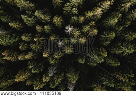 Green coniferous forest from above. Green summer background, aerial top view, Europe