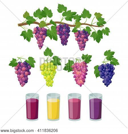 Grape Varieties And Grape Juice In Glasses. Bunches Of Grapes And Grape Products, Vector Illustratio