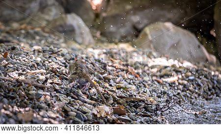 Wild Rat In Nature. Brown Rat. Rattus Norvegicus. Lutry, Switzerland. Wildlife And Nature.