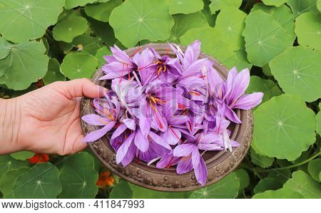 Saffron In An Oriental Bowl. It Is Among The World's Most Costly Spices By Weight. In October, The S