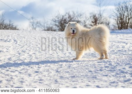 Samoyed - Samoyed Beautiful Breed Siberian White Dog. The Dog Is Standing On A Snowy Road And Has Hi