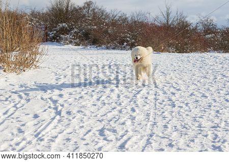 Samoyed - Samoyed Beautiful Breed Siberian White Dog. The Dog Runs Along A Snowy Road And Has His To