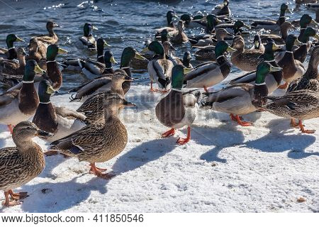 A Flock Of Wild Ducks On The Snowy Bank Of A Small River Close Up