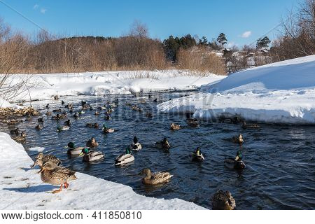 Wild Ducks In The Water Surrounded By Snowy Shores In A Winter Day