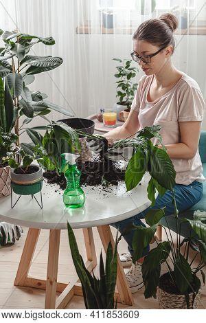 Plant Transplant, Woman Care Houseplant And Transplanting Plant