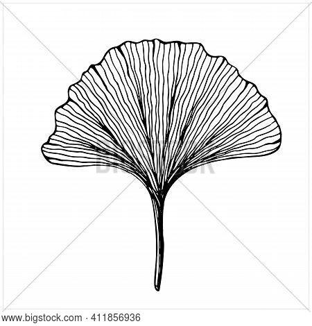 Ginkgo Biloba Leaf, Isolated Hand Drawn Illustration
