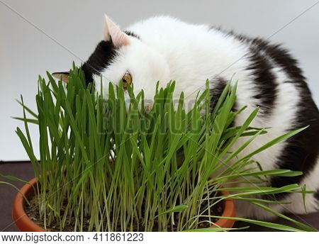 Black And White Cat Eating Grass For Cats. Wheat Grass Full Of Additional Vitamins And Minerals.