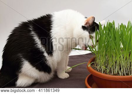 Black And White Cat Eating Grass For Cats. Wheat Grass Full Of Additional Vitamins And Minerals