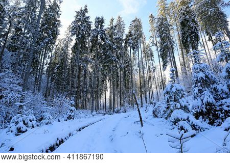 winter pine forest in Carpathian mountains in Ukraine