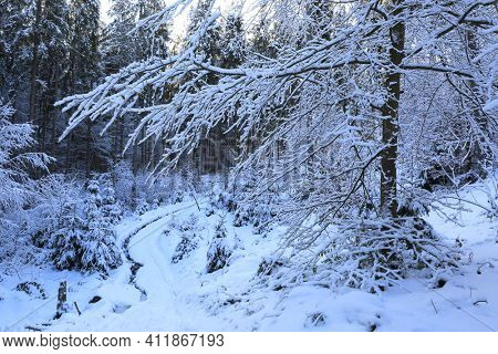 Snow covered tree in winter Carpathian forest, Ukraine