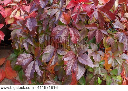 Leafage Of Parthenocissus Quinquefolia In Red And Purple In October