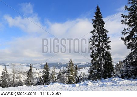 pine tree on winter meadow in Carpathians, Ukraine