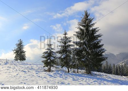 Winter landscape with pine trees on meadow in Carpathians, Ukraine