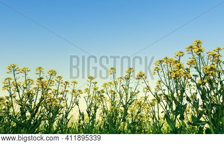 Oilseed Rape Blossoms In The Field, Colza On A Background Of Blue Sky Close Up.