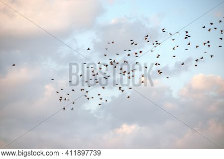 A Flock Of Starlings In Flight. A Small Bird 20-25 Cm Long, With A Wingspan Of About 34-42 Cm And We