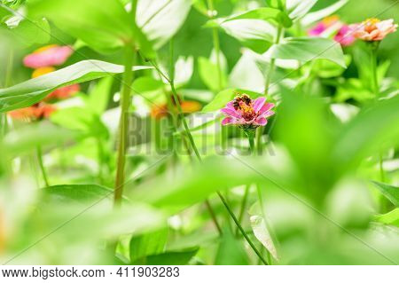Bee And Flower. Bee Collecting Pollen On A Pink Flower On A Sunny Day, View From Under The Leaves. A