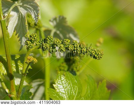 Young Vine Sprout With Young Unripe Grapes