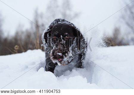 Hunting Dog In The Field In Winter. German Wire Hair On A Winter Hunt. High Quality Photo