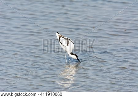 Water Bird, Wading, Wild In A Lake, Feeding On Looking For Small Crustaceans Recurvirostra Avosetta
