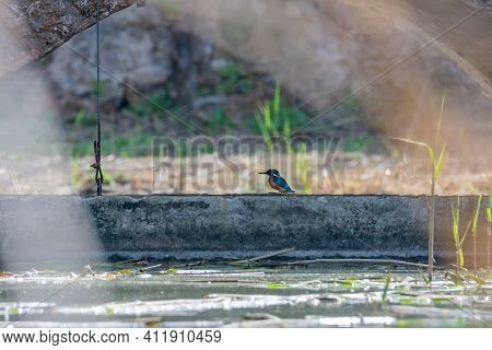 Kingfisher, Bird, Wild In A Lake, Feeding On Looking For Small Fish