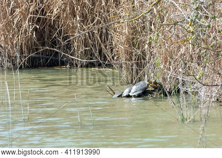 Red-eared Turtles, Or California, Trachemys Scripta, Sunbathing On A Rock On The Shore Of A Lake In