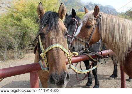 Close-up Portrait Of Three Horses Tied To A Pipe Waiting For Horseback Riding
