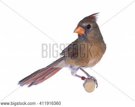 Female Northern Cardinal Aka Cardinalis Cardinali Bird, Sitting On Wooden Stick. Isolated On A White