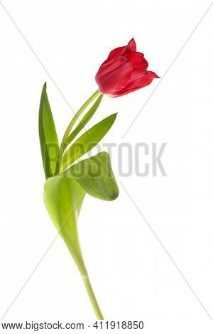 Red Tulip With Leave Isolated On White Background