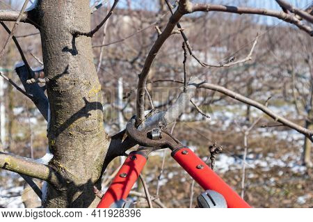 Pruning Apple Tree In Orchard. A Apple Orchard In The Sun On A Blue Sky Day.