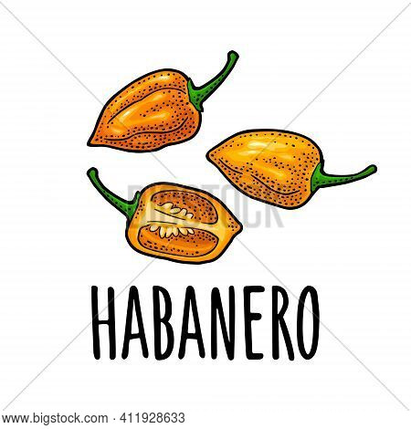 Whole And Half Pepper Habanero. Vector Color Engraving Isolated On White Background.