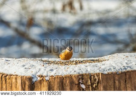 Woodpecker Tit In Winter On A Log With Forage. Songbird With Blue And Yellow Feathers In Sunshine Lo
