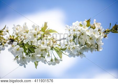 Beautiful White Cherry Blossom On A Branch