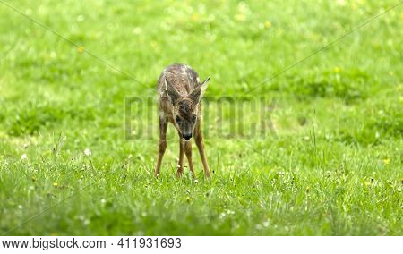 Beautiful Deer Fawn Standing On Meadow With Flowers In Springtime.