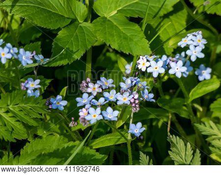 Sky-blue And Purple Spring-flowering Plant - The Wood Forget-me-not Flowers (myosotis Sylvatica). Fl