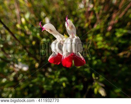 Macro Shot Of Blossom Of Salvia Baby Sage Cultivar