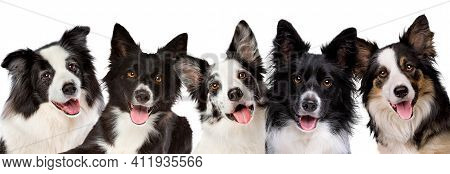 Five Border Collie Dog Portrait Looking At Camera In Front Of A White Background