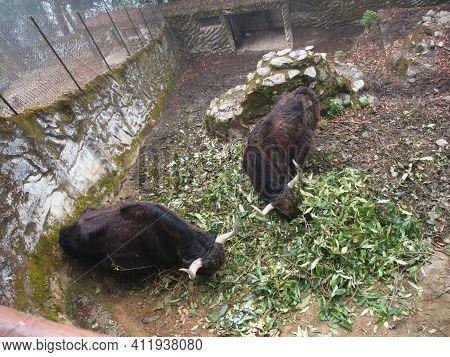 The Yak In Padmaja Naidu Himalayan Zoological Park. Darjeeling City, India. 2011 April 15Th.
