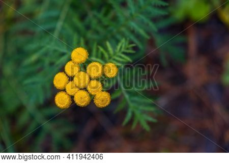 Yellow Flower Of Common Tansy Tanacetum Vulgare, Bitter Button, Cow Bitterness Or Gold Buttons. Sele