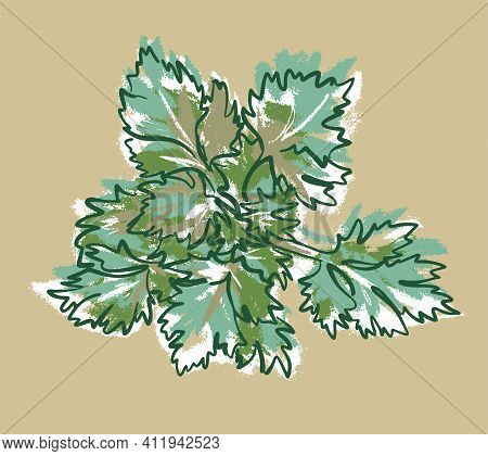 The Bush Of The Parsley Plant. Leaves On Top. Illustration Sketch On An Isolated Background, Vector.