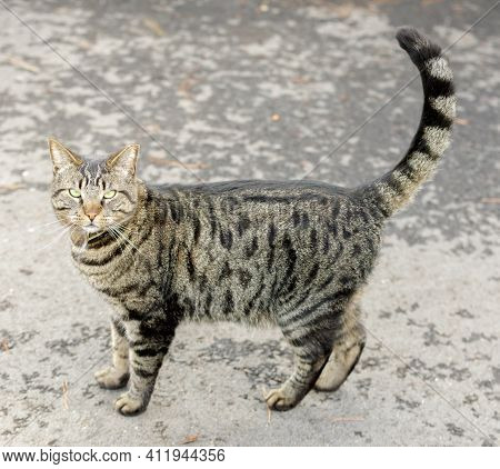 Domestic Cat Looking Up at Camera and Meowing for Attention