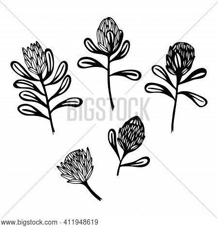 Hand Drawn Set Of Flowers Protea On A White Isolated Background. Simple Outline Illustration.