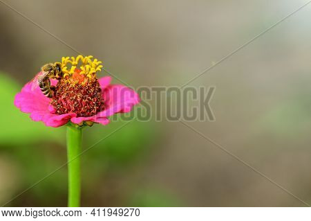 Bee And Flower. Close Up Of A Large Striped Bee Collecting Pollen On A Pink Flower On A Sunny Day, C