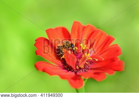 Bee And Flower. Close Up Of A Large Striped Bee Collecting Pollen On A Red Flower On A Sunny Day On