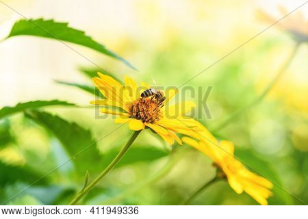 Bee And Flower. Close Up Of A Large Striped Bee Collecting Pollen On A Yellow Flower On A Sunny Day