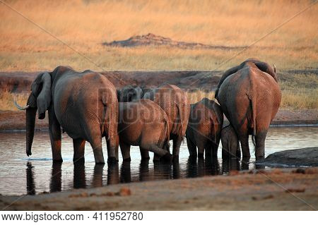 The African Bush Elephant (loxodonta Africana), A Herd Of Elephants Standing At A Watering Hole. Ele